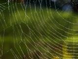Selenyphantes gaimani, une araignée nommée en hommage à Neil Gaiman